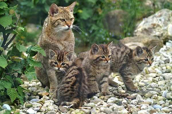 Камышовый кот с котятами