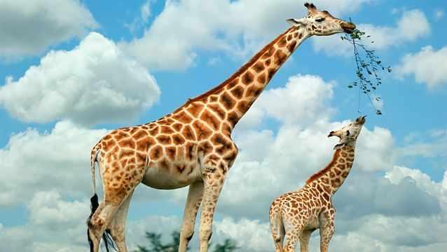 Жираф с детенышем