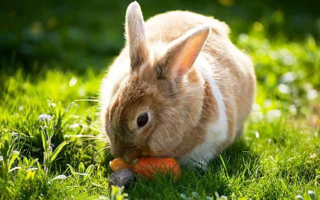 заяц ест морковку