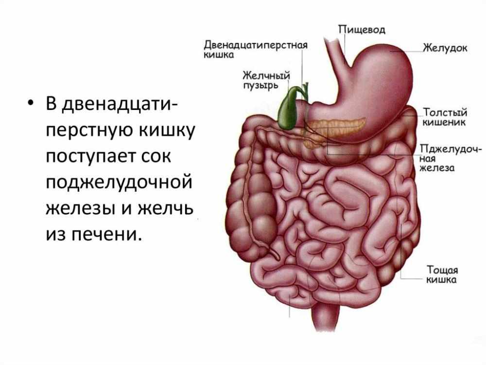 Пищеварение в желудке и двенадцатиперстной кишке. Действие ферментов ...