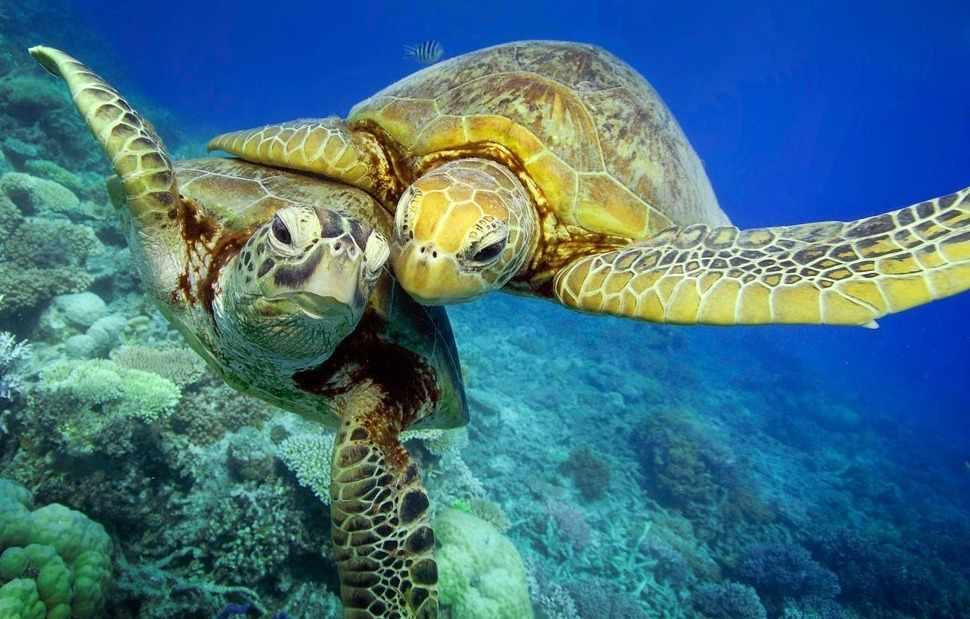 В Австралии редких черепах успешно спасают от вымирания (видео ...