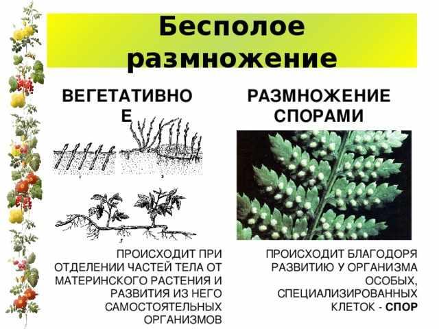 Размножение и оплодотворение у растений.Двойное оплодотворение у ...
