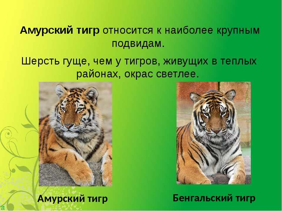 амурский тигр интересные факты