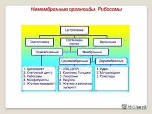 Немемлранный органоид Рибосома
