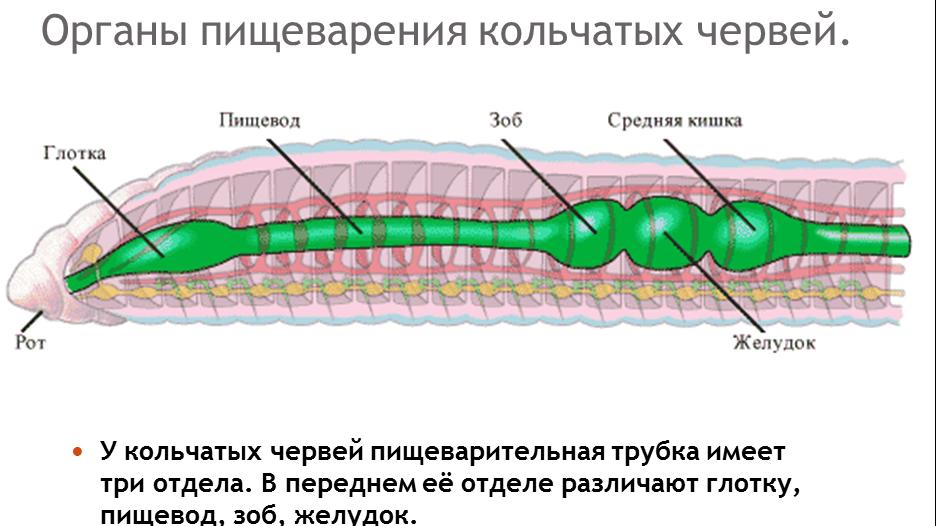 отделы желудка человека схема