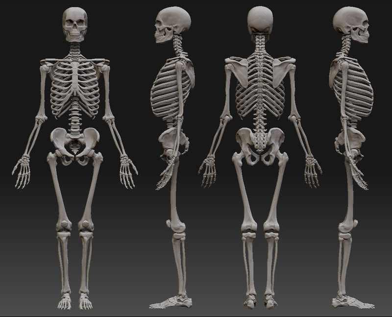 9 интересных фактов о человеческом скелете   Журнал Популярная Механика