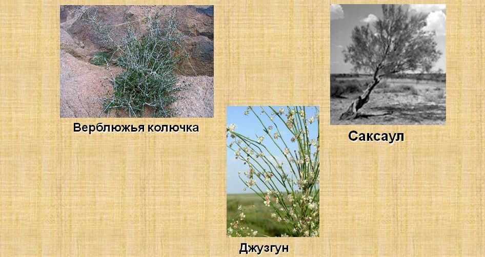 Растительный мир пустынь - Презентация 4946-5