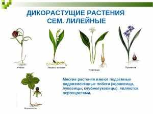 Какие травы дикорастущие