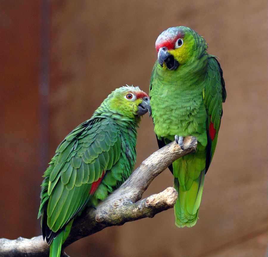 Попугай амазон: фото, содержание и размножение в неволе, виды ...