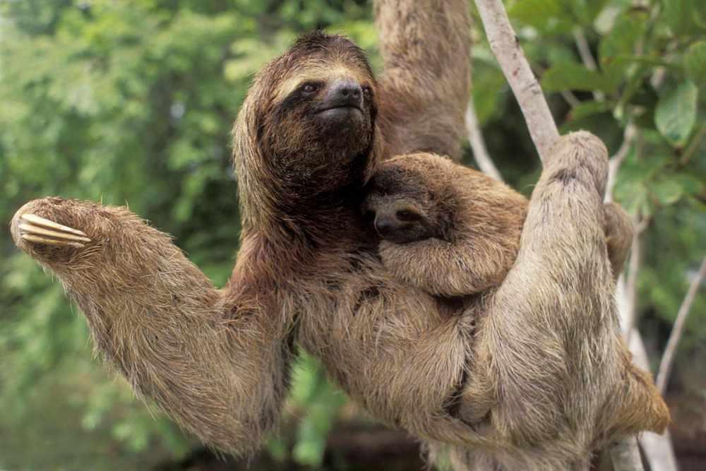 Ленивец - идеальное животное для фотографии