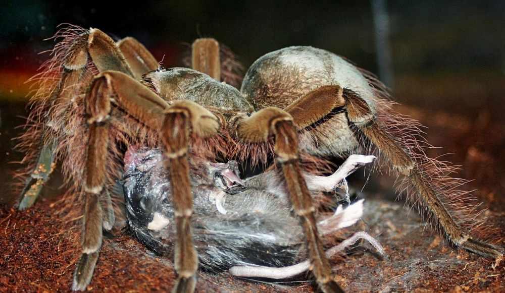 Самый большой паук в мире: masterok