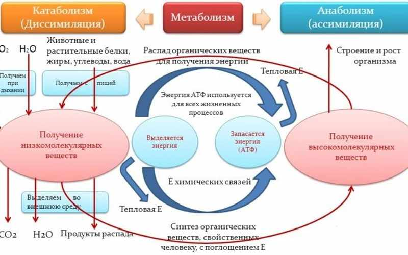 метаболизм определение