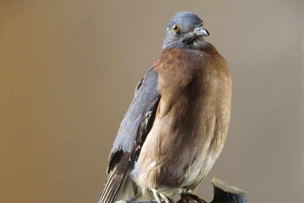 Биолог решил вернуть исчезнувшего странствующего голубя — Российская ...