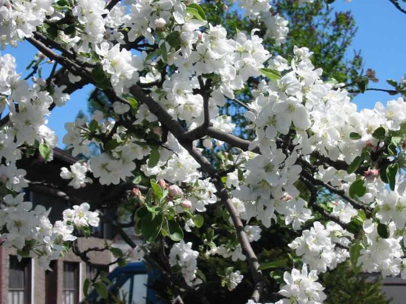 Яблоня — Википедия
