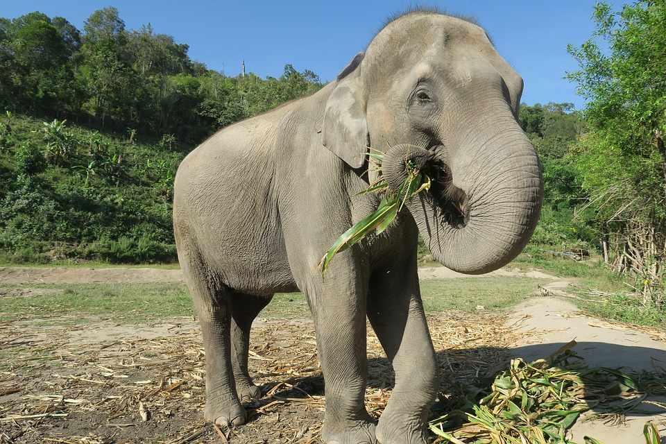 Слон Таиланд Ест · Бесплатное фото на Pixabay