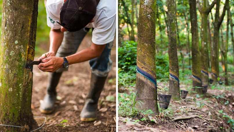 Cбор каучука — как растет резина | ВКонтакте