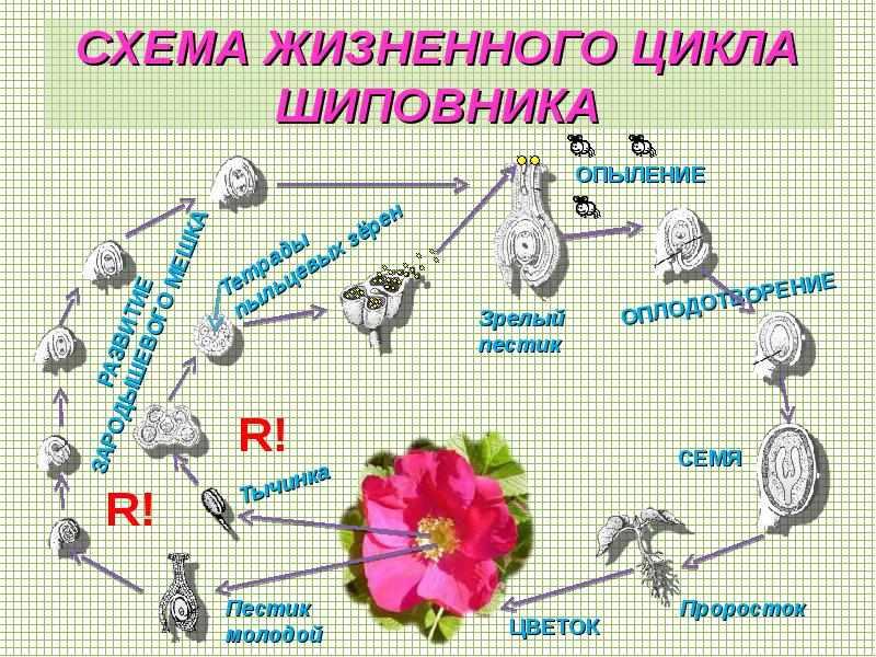 морфологическое описание