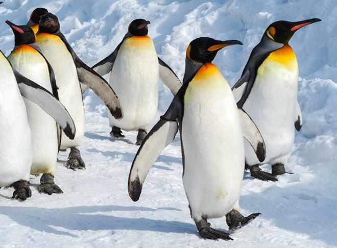 Думаете, что пингвины милые и ласковые? Ошибаетесь - BBC News ...