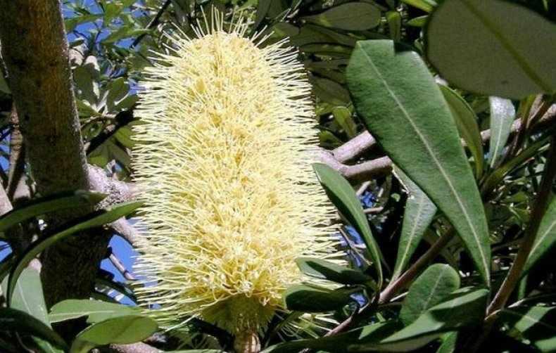 Растение банксия: ботаническое описание и распространение ...