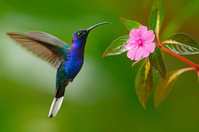 Колибри: факты о самой маленькой птице в мире | Geo - Непознанный ...