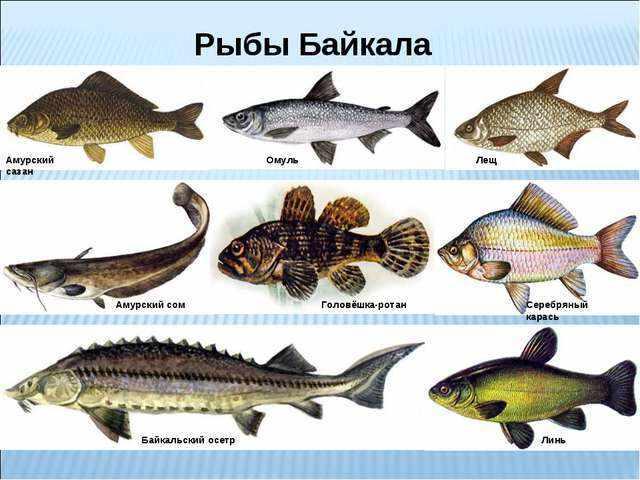Какая рыба водится в Байкале (фото с названиями)?