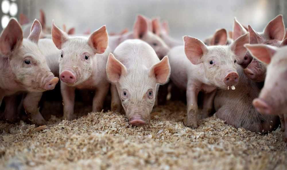Свиноводство как бизнес. Как начать разводить свиней — советы ...