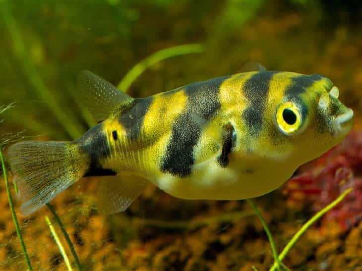 ТЕТРАОДОН ЗЕБРОВЫЙ (Colomesus psittacus) » Домашний аквариум