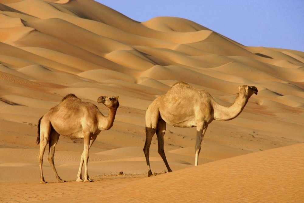 Верблюд – описание, виды, фото, где обитает, что ест