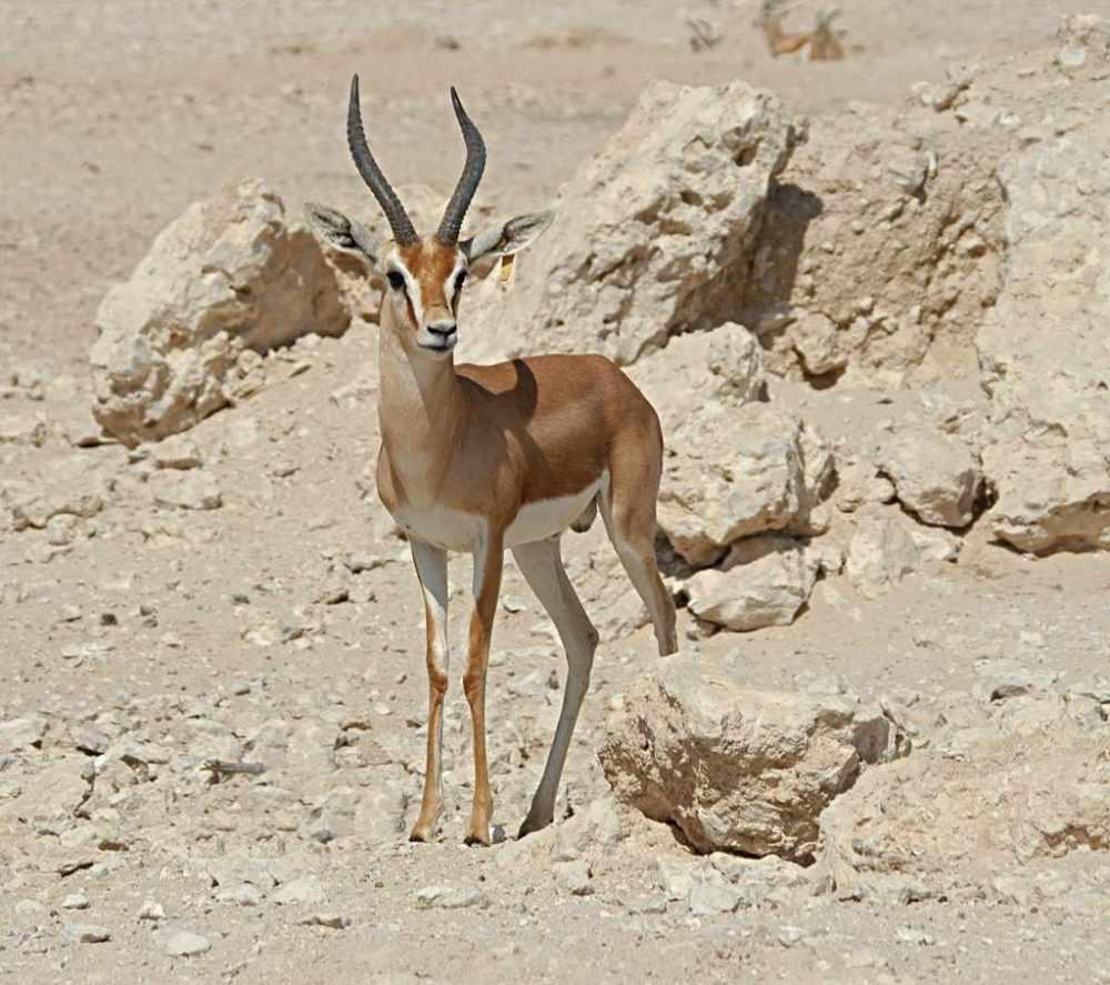 Газель-доркас – животное, наиболее приспособленное к жизни в пустыне