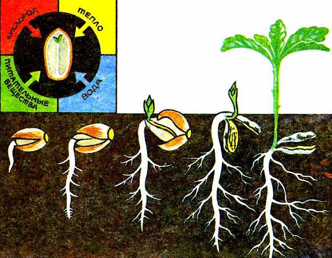 Влияние света и темноты на прорастание семян (по А. М. Гроздинскому ...