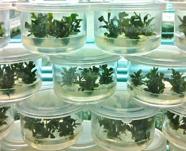 Меристемное размножение растений ⋆ Купольный Дом Вегетарий