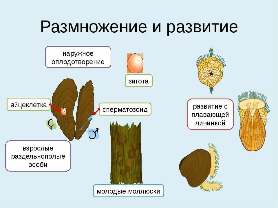 Презентация к уроку Тип Моллюски