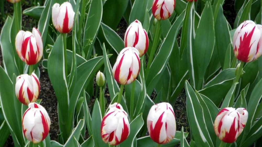 Скачать обои 1920x1080 весна, лепестки, семейства лилейных ...