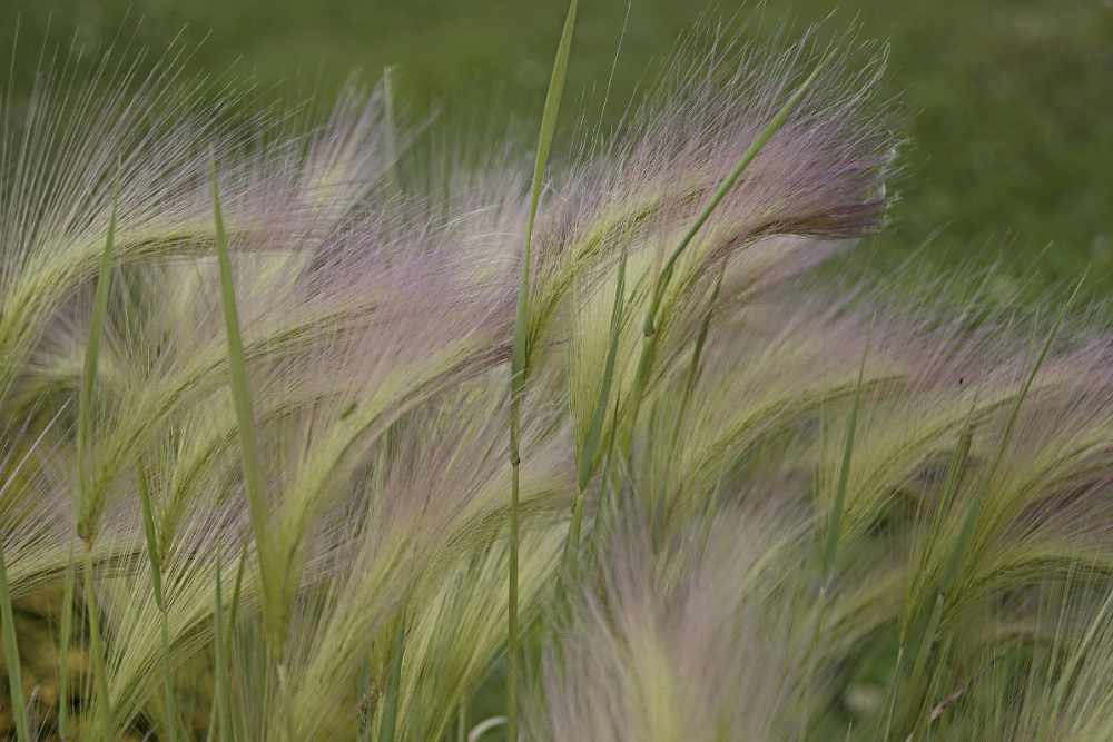 культурные зерновые растения названия
