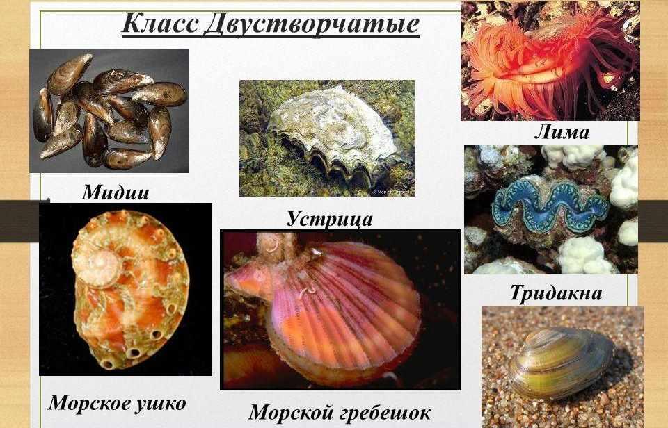 Презентация на тему: Тип Моллюски. КЛАССИФИКАЦИЯ МОЛЛЮСКОВ ...