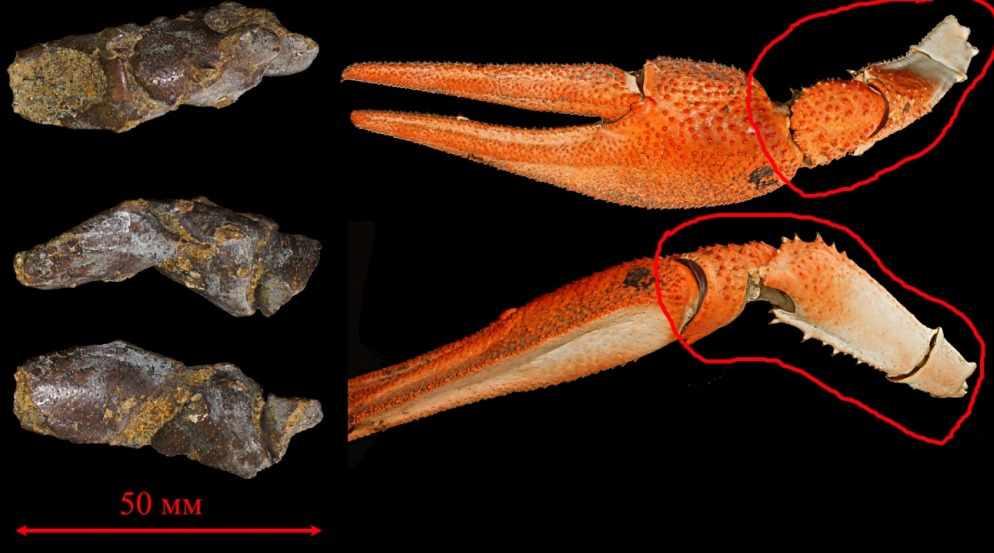 Фрагмент клешни ракообразного - Рыбы, раки