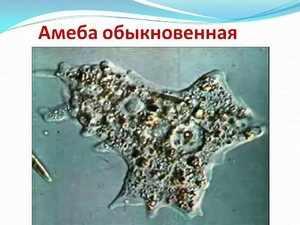 Характеристика амебы
