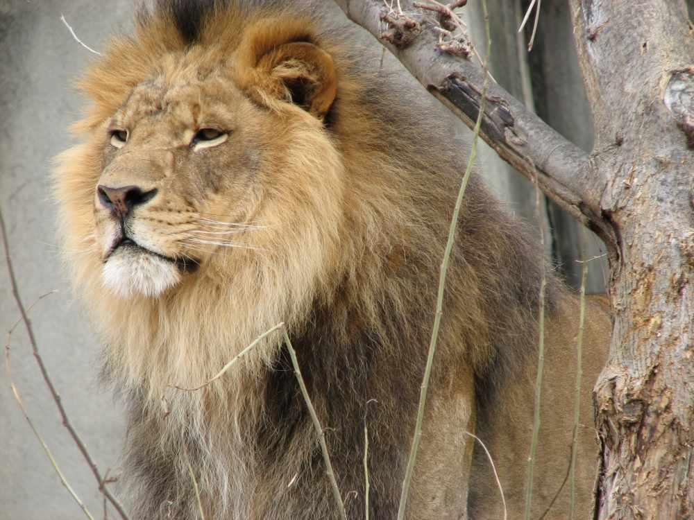 Лев — Википедия
