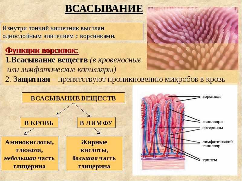 строение пищеварительной системы человека (главный ключ)
