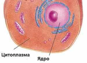 Цитоплазма: понятие