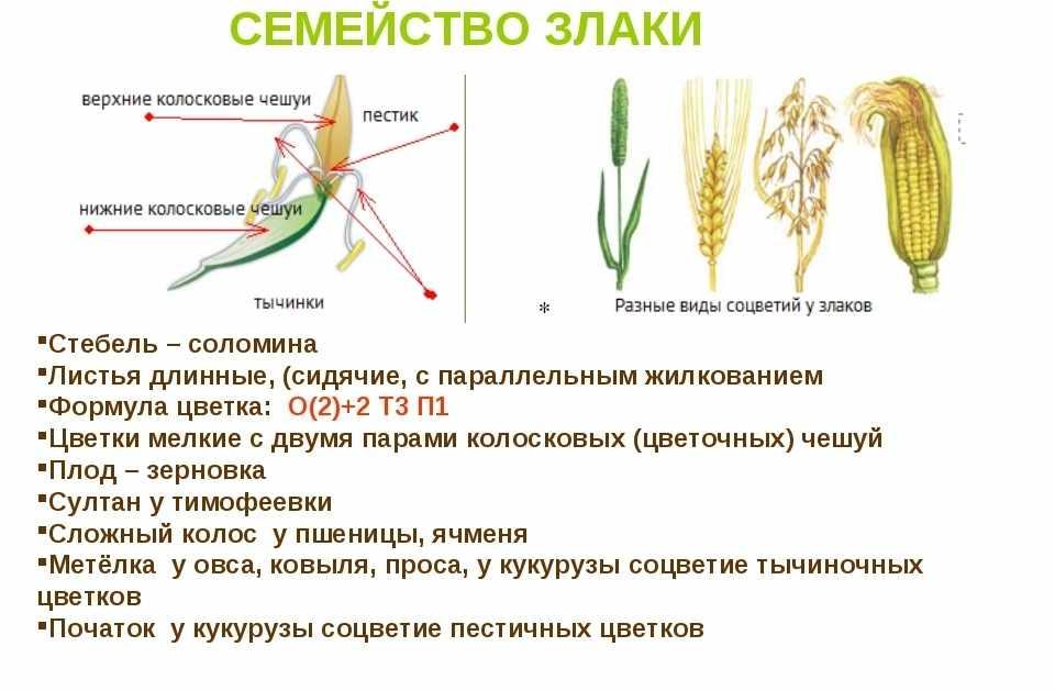 растение семейства злаков (главный ключ)