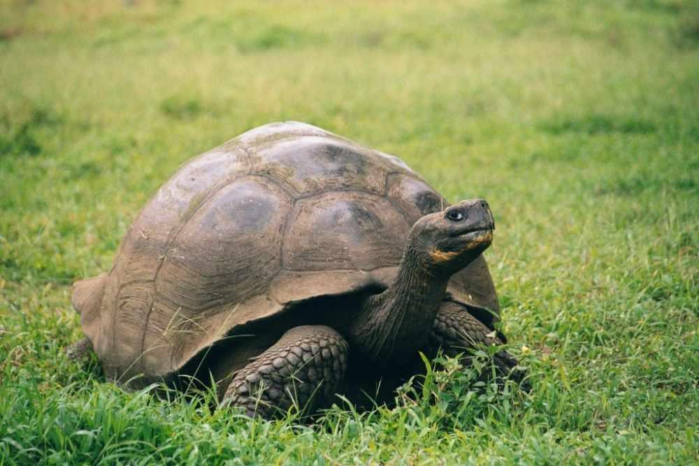 Галапагосская или слоновая черепаха (лат. Chelonoidis elephantopus ...