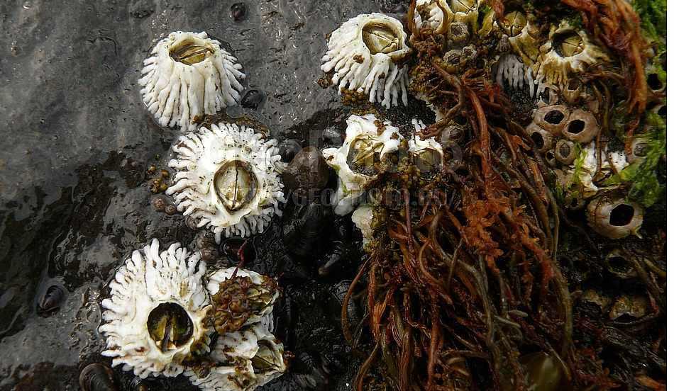 Фотография Балянусы, или морские желуди, бухта Головнина в ...
