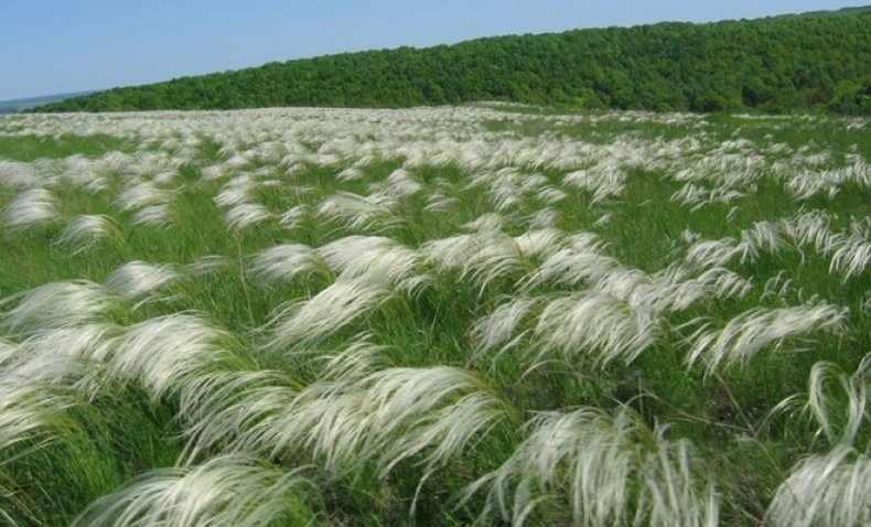 Ковыль: описание, разновидности, выращивание