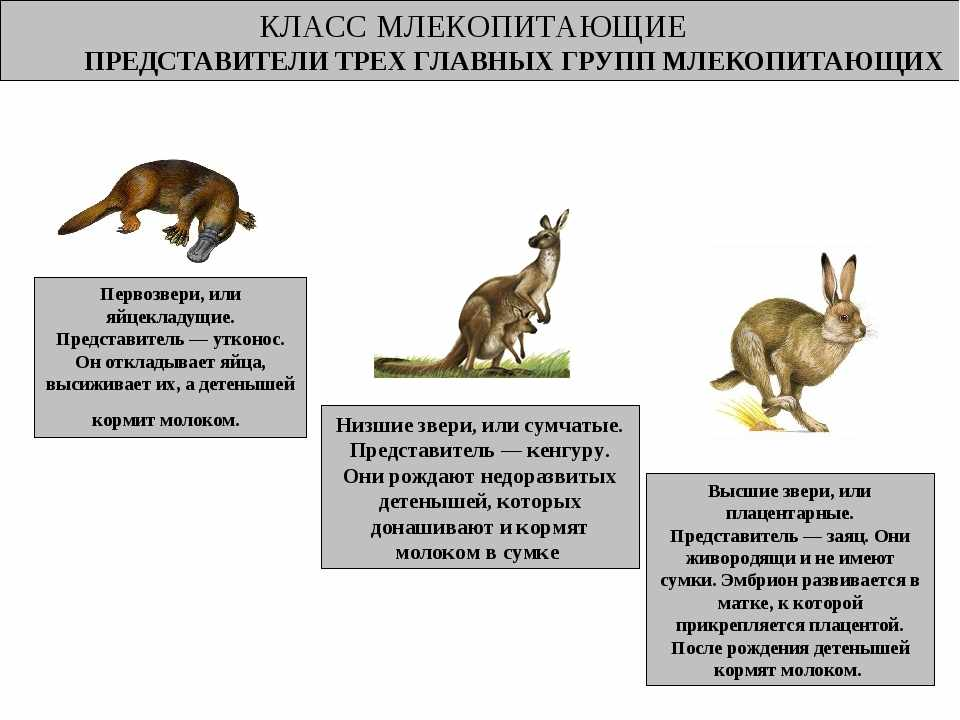 Презентация по биологии на тему Млекопитающие (7 класс)