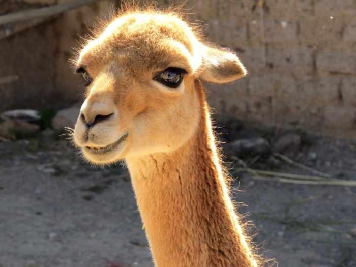 Главная ценность Перу: Как очаровашки-викуньи, которых индейцы ...