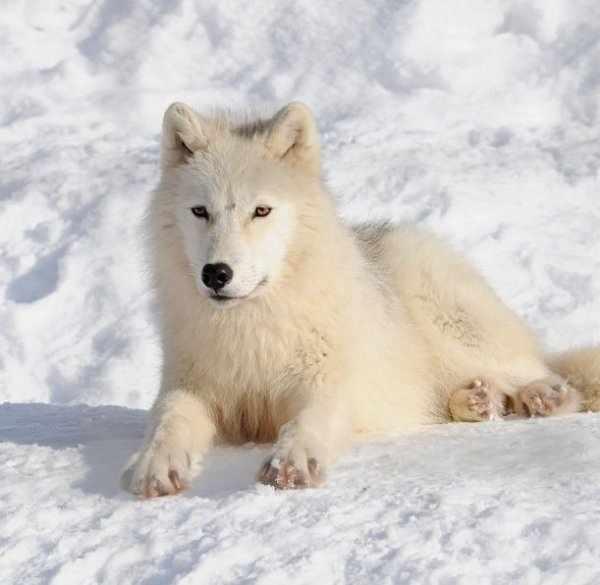 Белый полярный волк: интересные факты, описание жизни с фото и видео ...