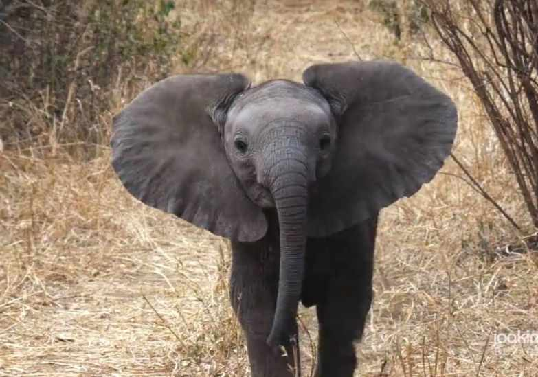Храбрый слоненок защищает маму | uDuba.com