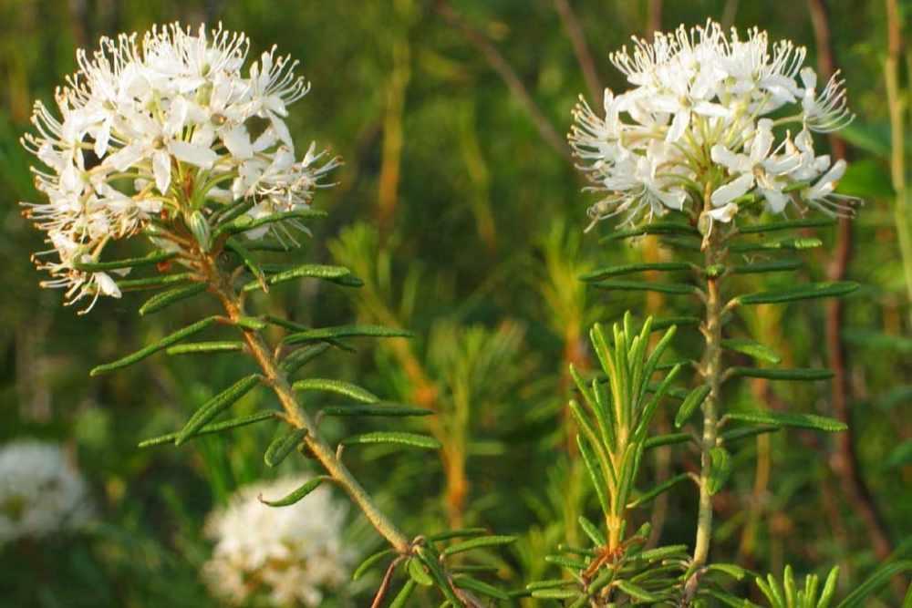 Багульник болотный - лечебные свойства и противопоказания ...