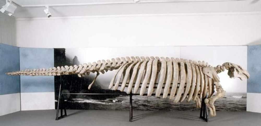 Стеллерова корова (лат.Hydrodamalis gigas)